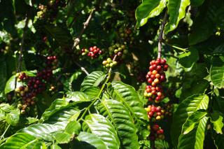 コーヒー農園へ876