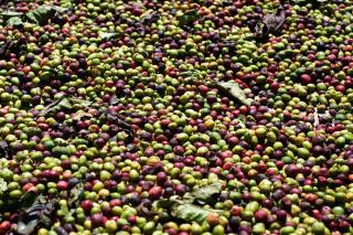 コーヒー農園へ933